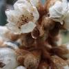 枇杷の花の香り 花も少なくなるし The fragrance of flowers of loquat