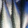 みんなの北海道釣り情報【苫小牧港】イワシやチカだけじゃない!サバも絶賛豊漁中の苫小牧港