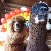 当店のアルパカズは、ハリーさんとキューさんです。