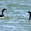 外川漁港の2羽のヒメウ