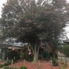 石垣山観音寺さんのハルサザンカ 350年 古木を拝観してきました!