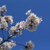 今週のお題「桜」だそうで。
