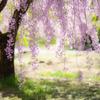 紅の雲:谷崎潤一郎も愛した桜
