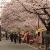 大岡川沿い桜探訪