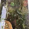 柿の葉と発泡スチロールで越冬準備