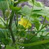 ニガウリの開花