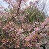 寒桜  ~匿名さんからの投稿です~