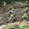 庭の一角に白菜第2弾