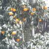 雪とハイビスカス