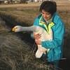 水路の白鳥を救助、阿賀野