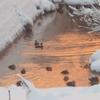 【画像特集】朝焼け色に染まる川 カワウとカモ集団など