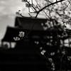 法隆寺境内に咲いた梅花