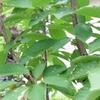サクランボの木の想い出