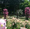 【印西】北総花の丘公園の「バラ園」が素晴らしいです。