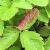 #23 四季なりイチゴ 葉に茶色い点々