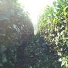 お茶の並木