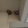 崩壊したコシアカツバメの巣
