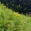 オミナエシ もう秋の花が