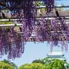 今年のゴールデンウィークも名古屋・名城公園の「藤の回廊」で藤を楽しんできました