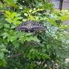 蝶々(幼虫出てきます 要注意!)
