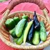 家庭菜園で毎日必要な量を収穫する幸せ…  最近、キュウリが豊作で食べ切れません…