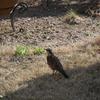 我が家の庭で、ツグミを撮影! 3/19に撮影しました。