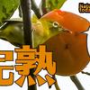 1003【小鳥に食べられる柿】育ったカルガモ親子にコガモ。鳩のおならや桜とカワセミ。コゲラとアカボシゴマダラ産卵と赤トンボ連結飛行、トカゲとカナヘビ【 #今日撮り野鳥動画まとめ 】 #身近な生き物語