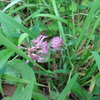 8月の花は赤詰草、アカツメクサ、花言葉は「少女の思い出」です。