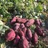 サツマイモとニンジンの収穫