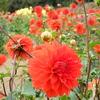 ダリア・オレンジクッション:世羅高原農場(広島県世羅町)
