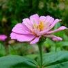 地味な花 百日草