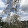 嵯峨野の春・植藤造園