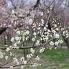 2月の偕楽園の梅