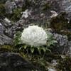 じじぃの「不思議な花・ワタゲトウヒレンはセーターを着て酷寒を生きる?世にも驚異な植物たち」