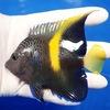 【現物2】wildマクロスス 10cm± !海水魚 ヤッコ 餌付け!15時までのご注文で当日発送【ヤッコ】