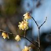 蝋梅が咲き出しました 木場公園