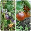 赤くない!ブルーやグリーンの珍しいトマトの収穫