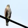 街路の電線から飛び立つ鷹ーツミー