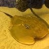 夏休み自由研究!生きた化石カブトガニを検証!カブトエビとの違いは?