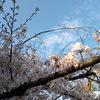 にっき:校正、京都味、桜満開