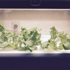 【グリーンファーム】レタスの位置を変える【水耕栽培】