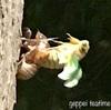 【昆虫】ウォーキング中、セミの幼虫、拾ったよ
