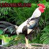 Jadwal S128 Sabung Ayam Online 10 Juni 2017