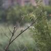 梅雨の手賀沼のオオヨシキリ