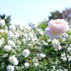 京成バラ園の秋バラ♪上野砂由紀さんと藤川志朗さんが本日来園♪