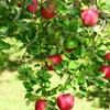 【書評】『奇跡のリンゴ 「絶対不可能」を覆した農家 木村秋則の記録』(石川拓治、幻冬舎文庫)