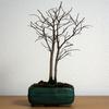 先輩から頂いた双幹樹形のエノキ