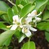 ユズの開花と実