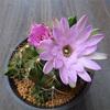 ギムノカリキウム 麗蛇丸の花