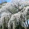 監物台樹木園の桜
